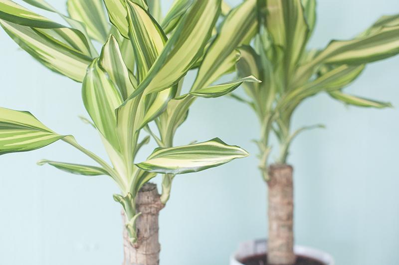 Dracaena planten van het beste van de kweker